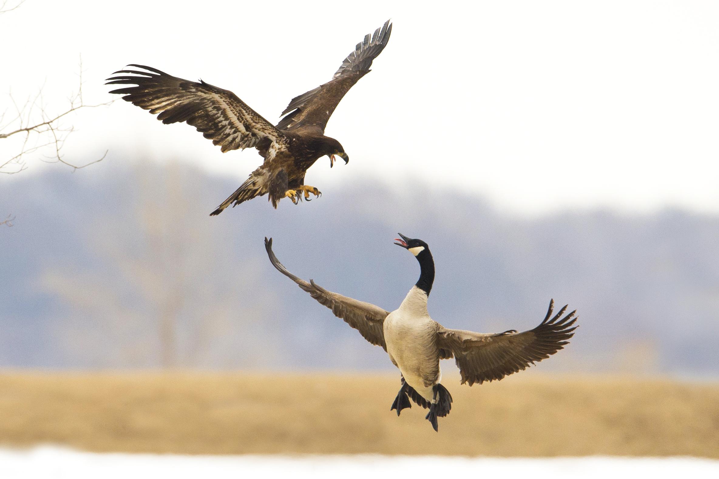 Bald Eagle Attacks