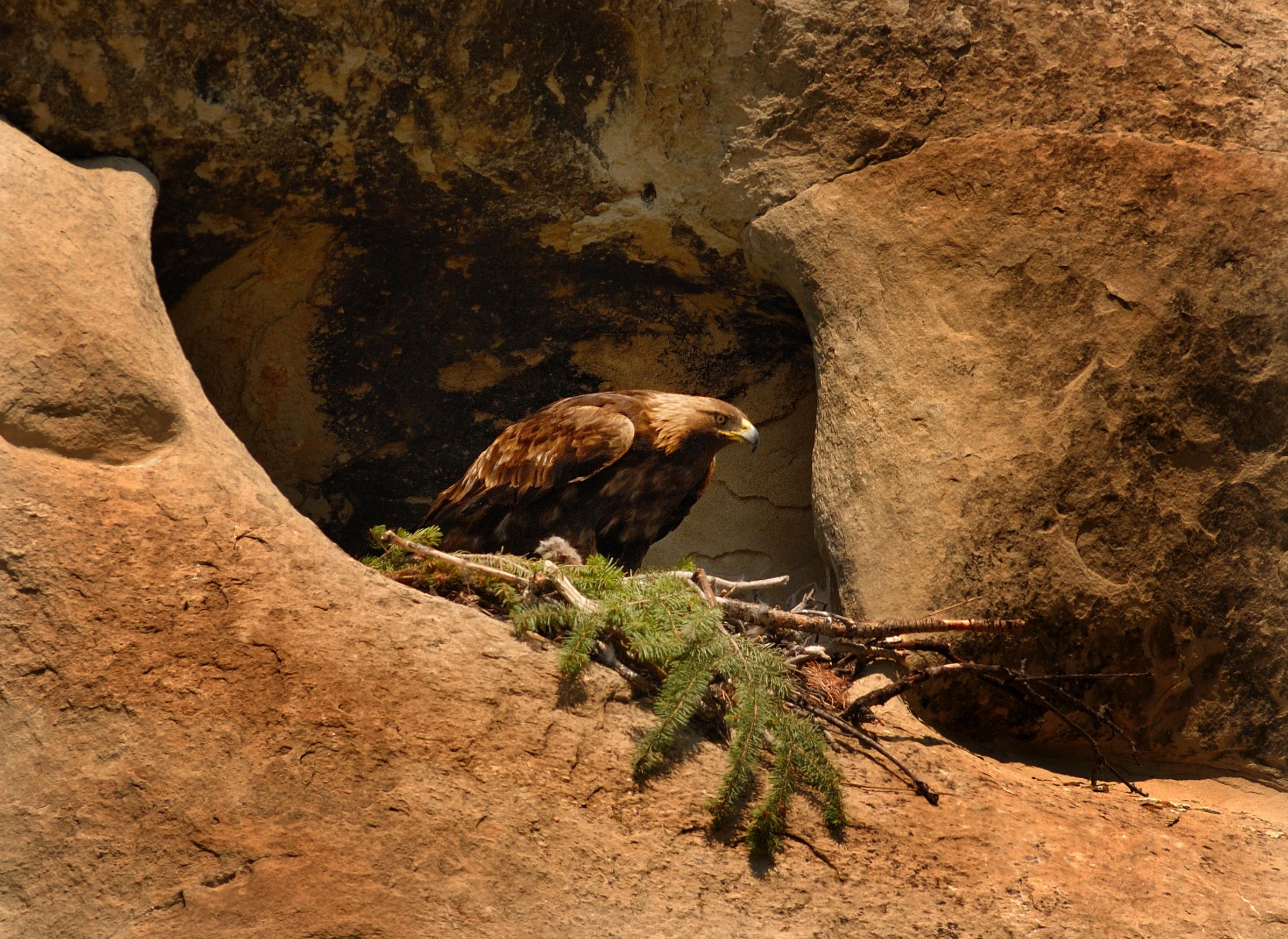 Golden Eagle Nesting
