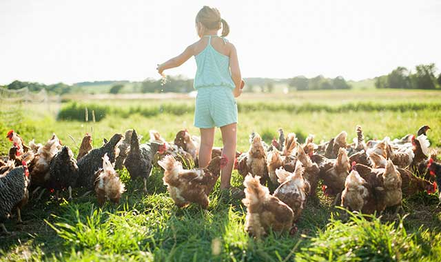 Families that stay at Kinnikinnick Farm in Caledonia participate in the daily chores on this farm, which includes chickens, hogs, goats and produce.