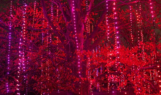 The trees of Morton Arboretum, in Lisle, are aglow with color during the Illumination: Tree Lights event, which runs through Jan. 2.